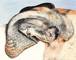 Wabi's Ear, by Xan Blackburn, graphite and watercolor, greyhound portrait study, greyhound, hound, art